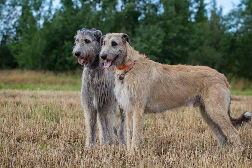 İrlanda Kurt Köpeği