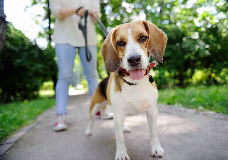 Evde Beslenebilecek Köpekler Beagle