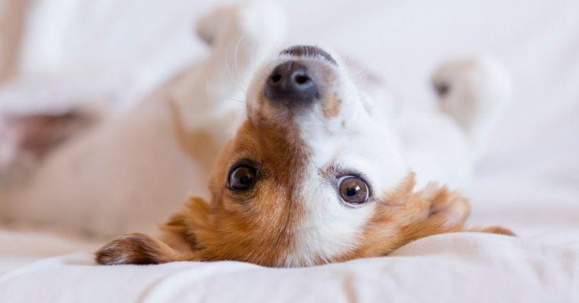Küçük Köpek Cinsleri