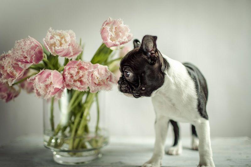 Küçük Köpek Cinsleri Boston Terrier