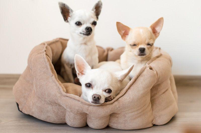Küçük Köpek Cinsleri Chihuahua