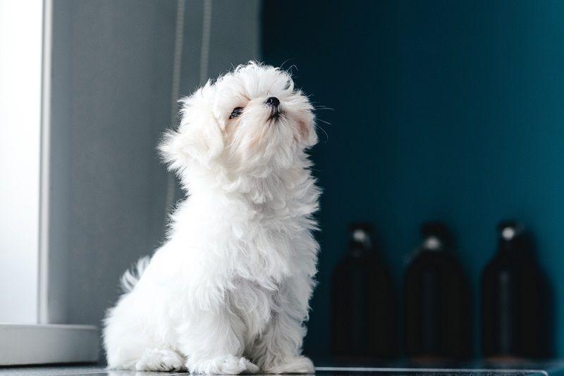 Küçük Köpek Cinsleri Maltese