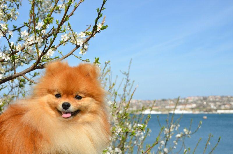 Küçük Köpek Cinsleri Pomeranian Boo