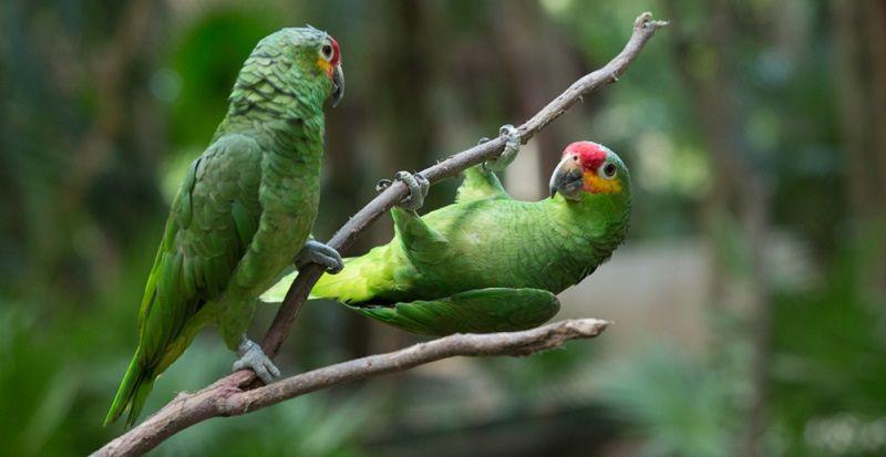 Kuş Türleri Amazon Papağanı