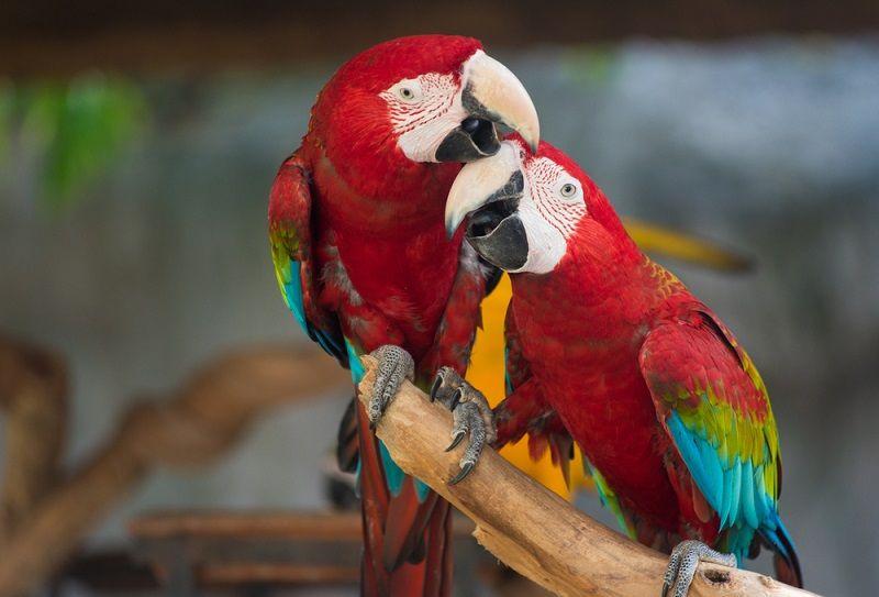 Kuş Türleri Amerika Papağanı
