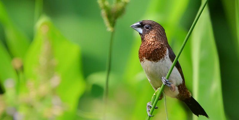 Kuş Türleri Bengal İspinozu