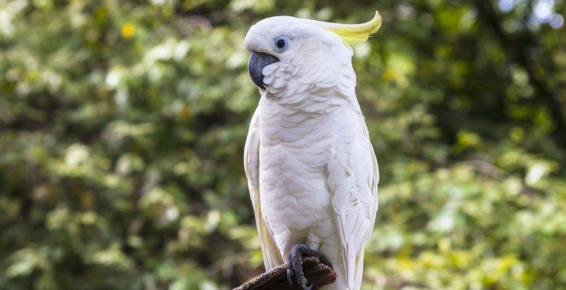 Kuş Türleri Kakadu Papağanı