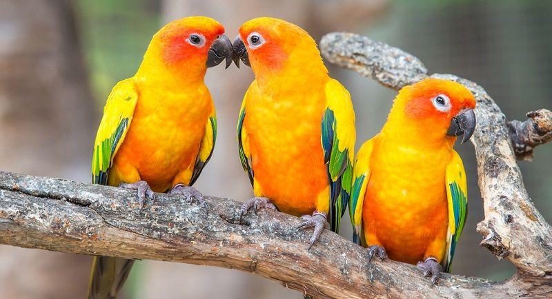 Kuş Türleri Konur Papağanı