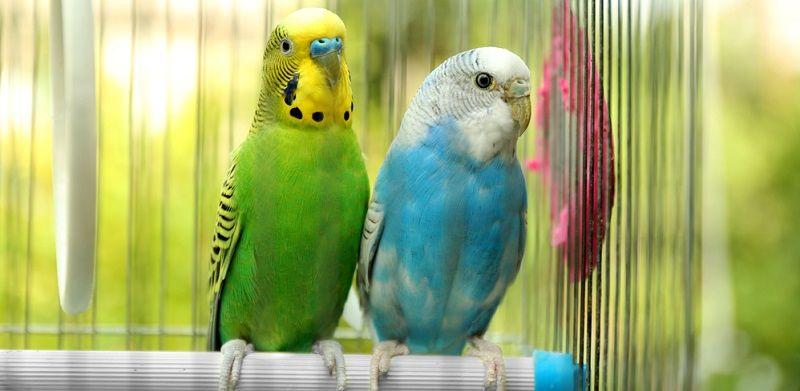 Kuş Türleri Muhabbet Kuşu
