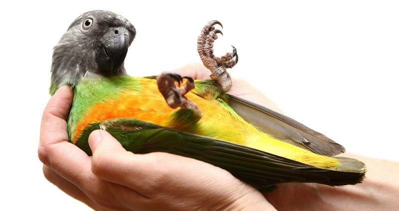 Kuş Türleri Senegal Papağanı