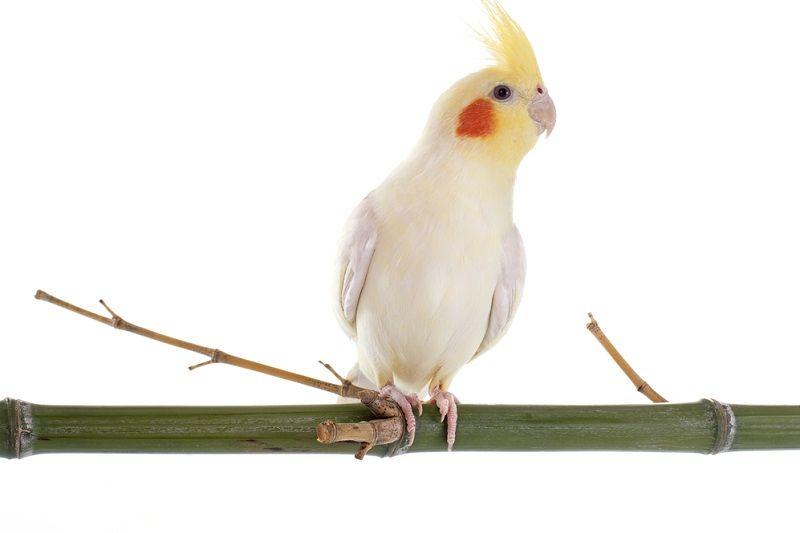 Kuş Türleri Sultan Papağanı