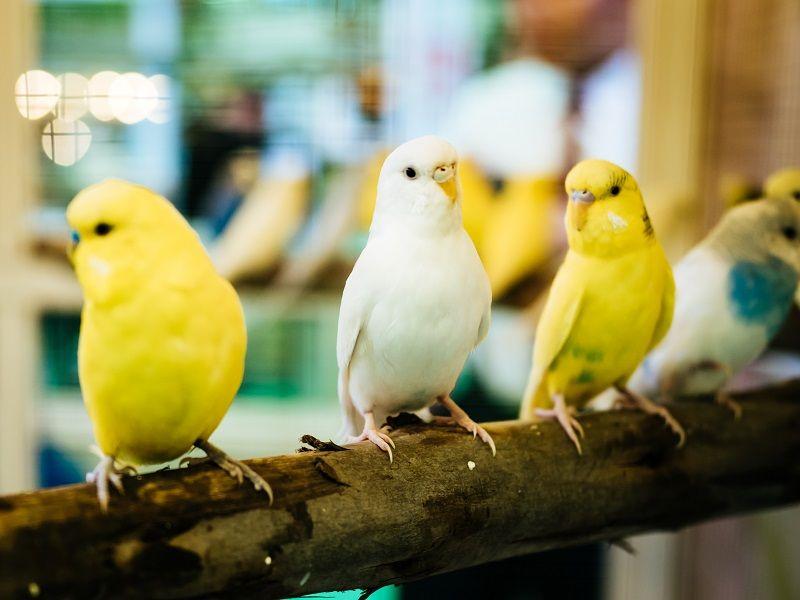Muhabbet Kuşları Muhabbet Kuşları çiftleşme Türleri Isimleri