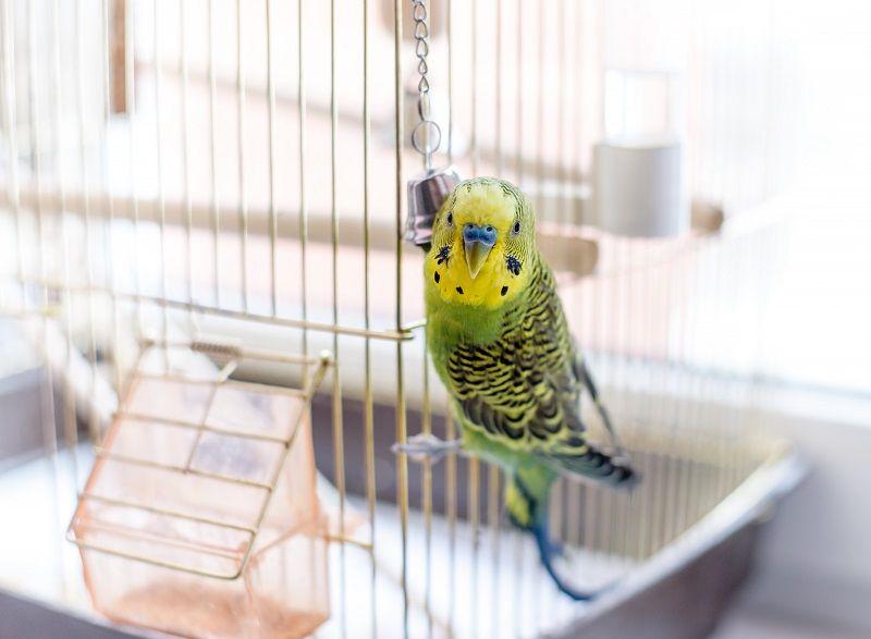 Muhabbet Kuşları Nasıl Eğitilir