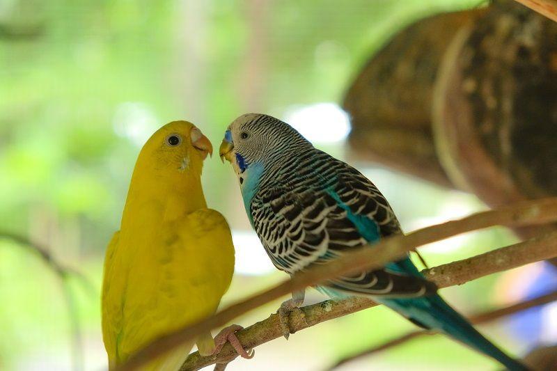 Muhabbet Kuşları Sesi