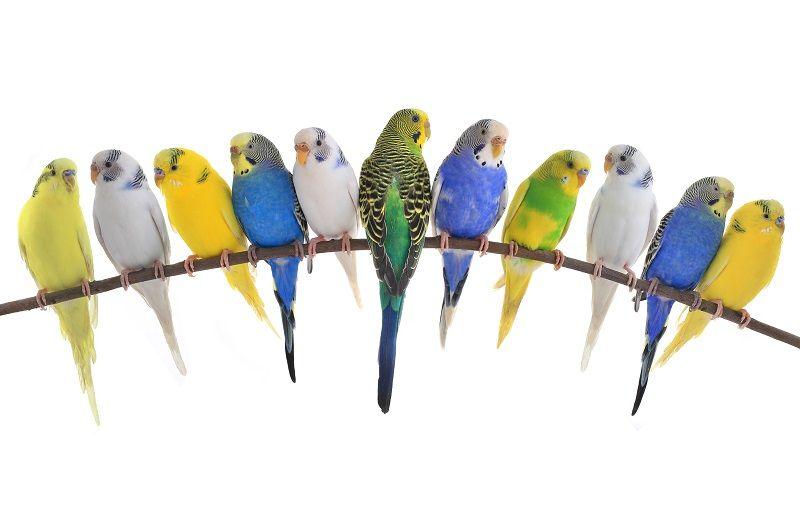 Muhabbet Kuşları Türleri