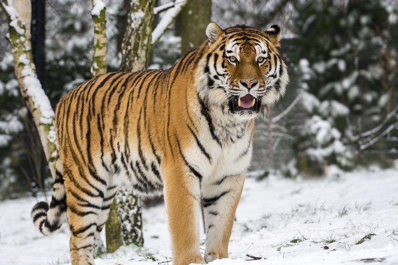 Nesli Tükenen Hayvanlar Pers Kaplanı