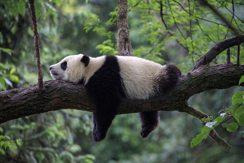 Nesli Tükenmekte Olan Hayvanlar Panda