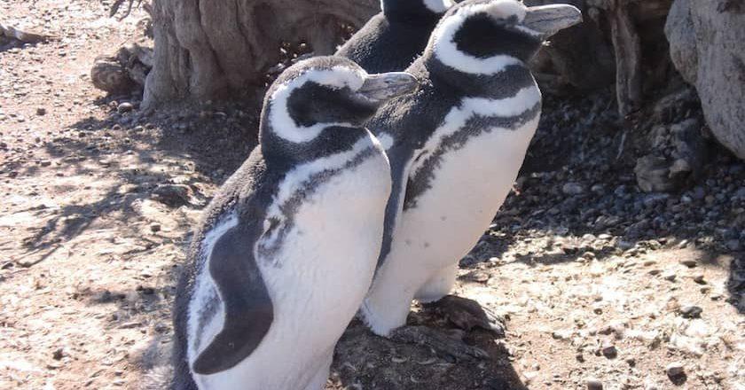 Puerto Madryn Penguenleri