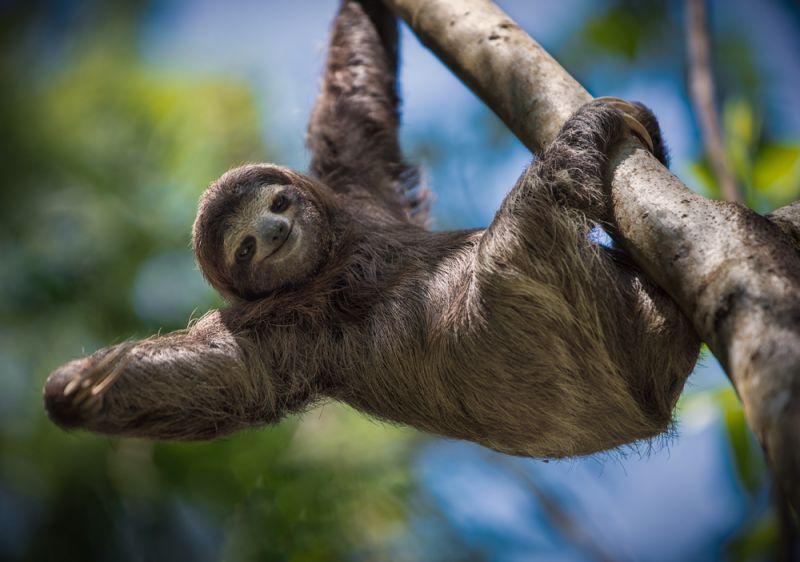Tembel Hayvanlar Sloth