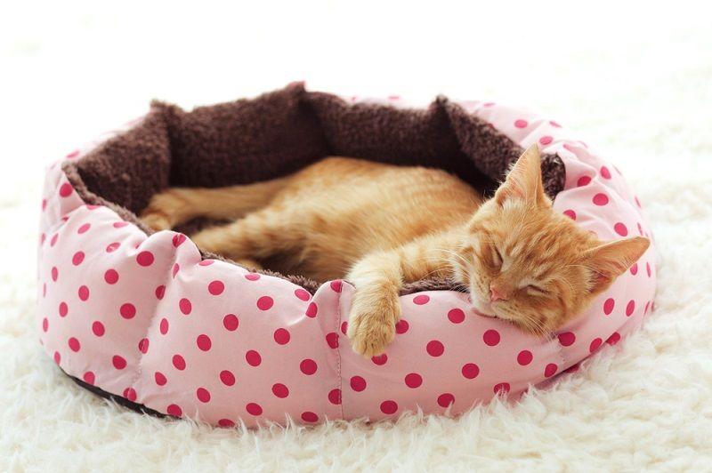Yavru Kediler Kedi Yatağı
