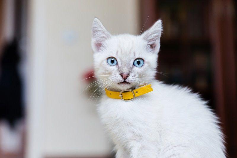 Yavru Kediler Tasma