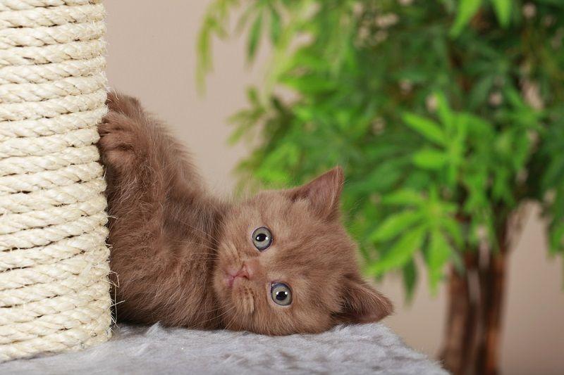 Yavru Kediler Tırmalama Tahtası