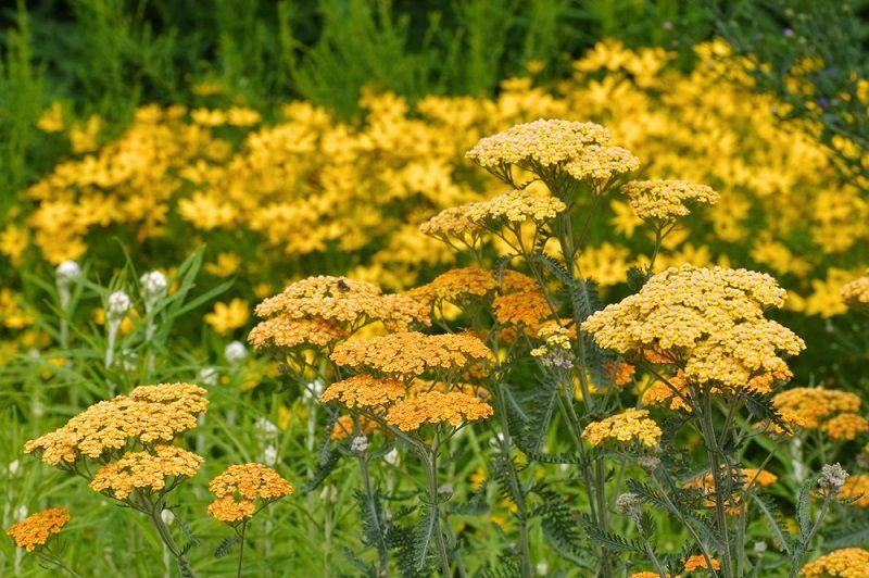 Yaz Çiçekleri Aşil Otu