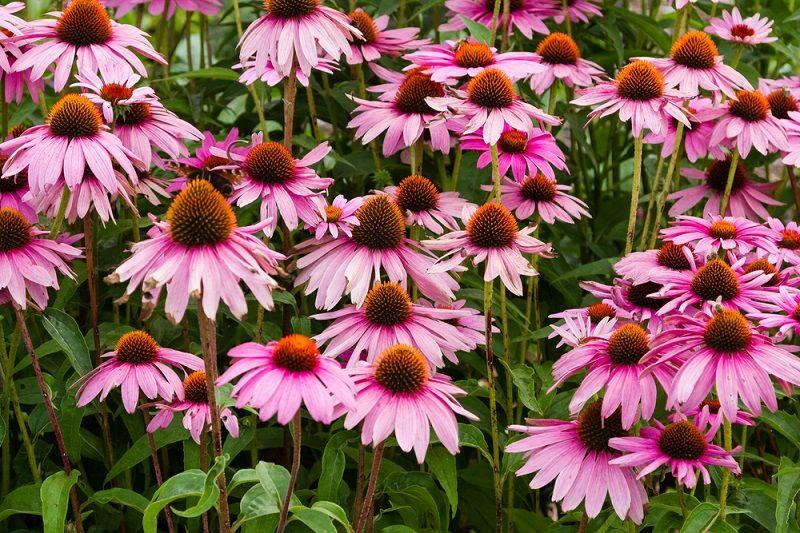 Yaz Çiçekleri Ekinezya