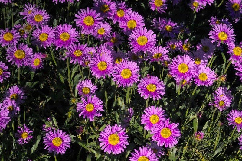 Yaz Çiçekleri Kasımpatı