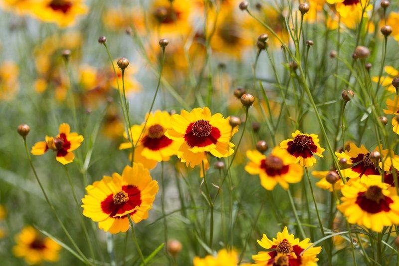 Yaz Çiçekleri Kız Gözü