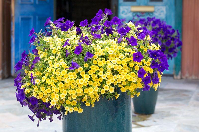 Yaz Çiçekleri Sarkan Petunya