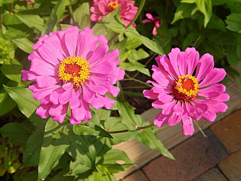 Yaz Çiçekleri Zinya