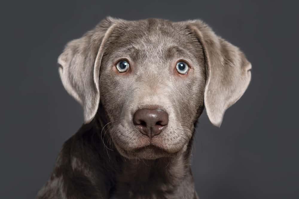 Gümüş Labrador