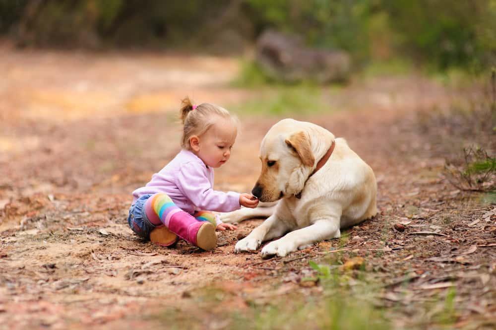 Labrador Köpekler