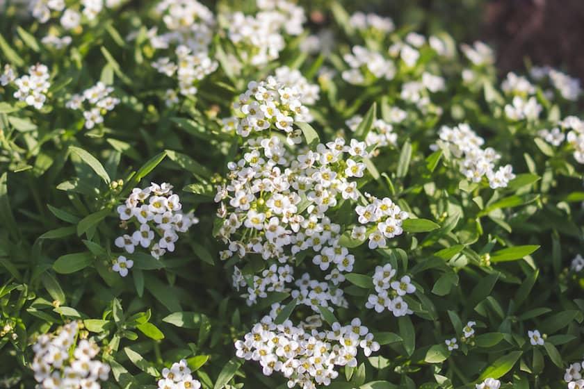 Alisyum Çiçeği