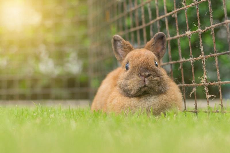 Tavşan Evcil Hayvan