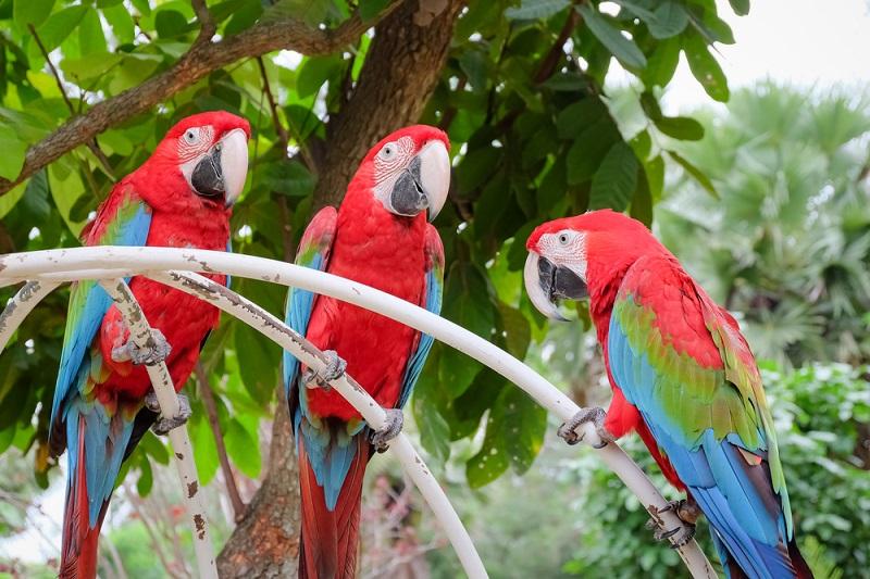 Papağan Evcil Hayvan