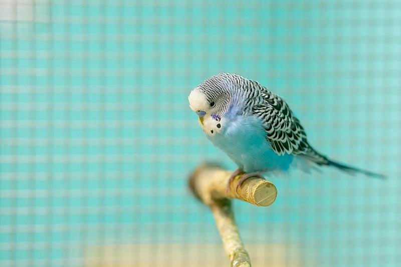 Muhabbet Kuşu Evcil Hayvan