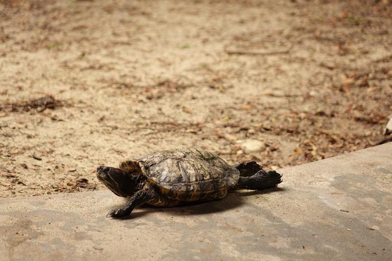Kaplumbağa Evcil Hayvan