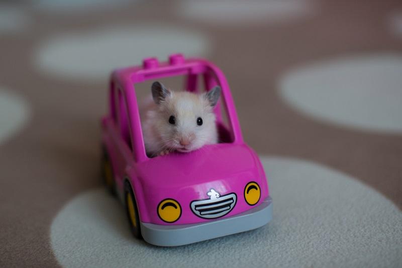 Hamster Evcil Hayvan