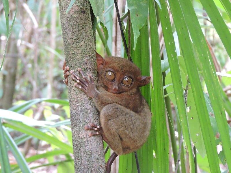 Bohol Adası Maymun