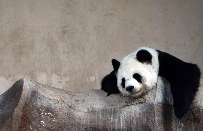 Genel Kültür Panda