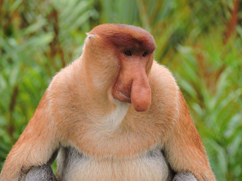 Kota Kinabalu Probiscis Maymunu