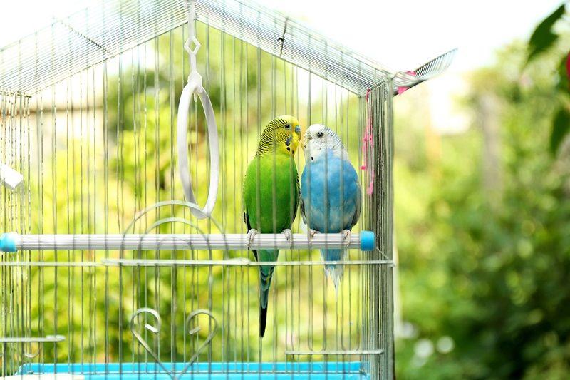 Muhabbet Kuşu Kafesi Nasıl Olmalı