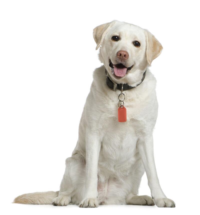 labrador köpek