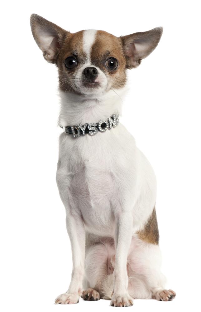 Chihuahua köpek