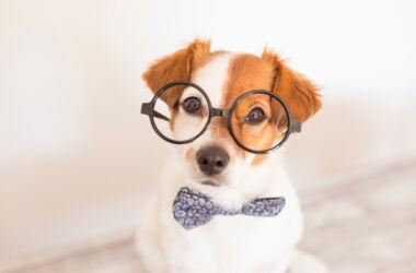 gözlüklü köpek